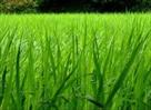 Sri Lanka Classifieds Paddy rice land for sale
