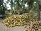 Sri Lanka Classifieds Coconut Land for sale